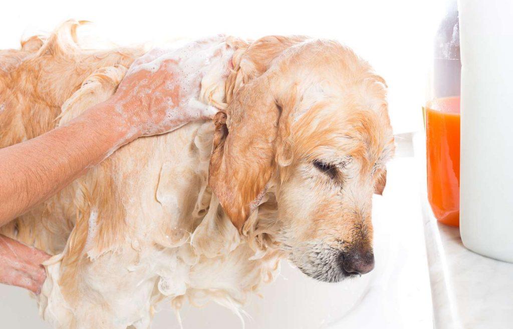 Shampoo Golden Retriever